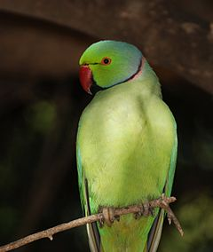 240px-Parrot_India_2.jpg