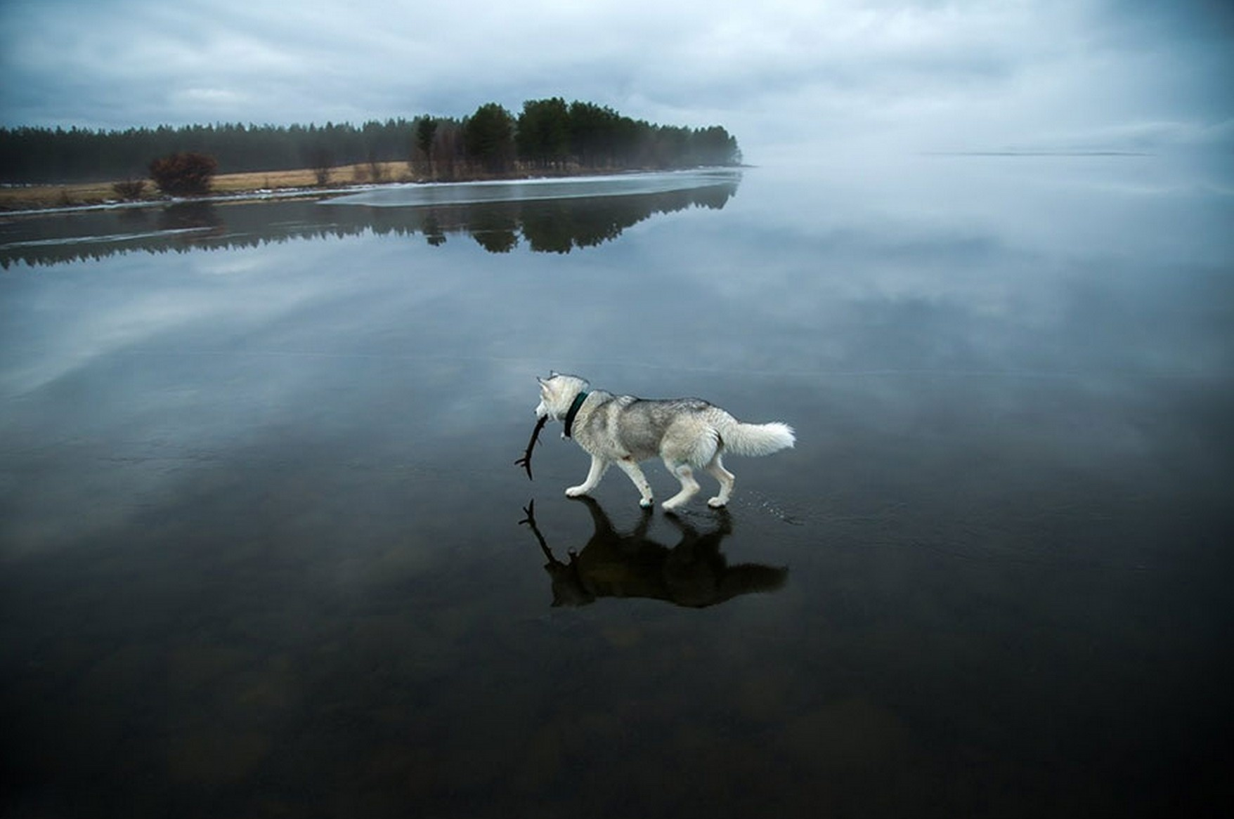 a_husky_walks_on_water_in_northern_russia_by_ahmedmofree1996-d8scdti.jpg