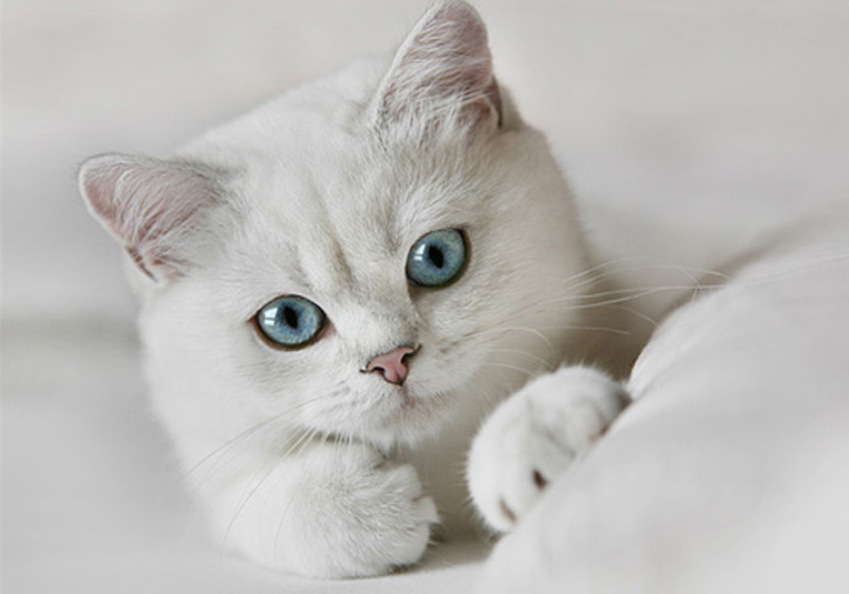 british-shorthair-white-bri-w61.jpg