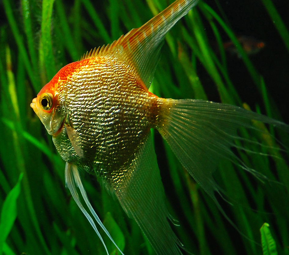 gold_angelfish_6_close_up_by_isabellany.jpg