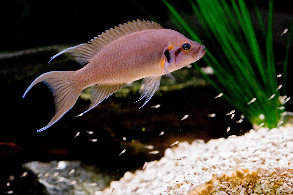 neolamprologus_brichardi_flickr.jpg